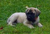 Marley, A Puppy Mastiff
