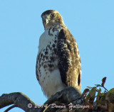 PotBellied Red Tail Hawk