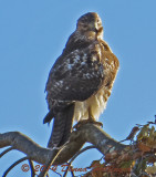 Red Tailed Hawk Preening in the Sun