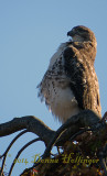 Red Tailed Hawk - Posture!