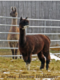llama and Alpaca At Wallace's