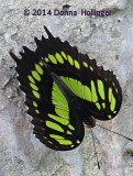 Partially Open Malachite Butterfly