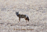Coyote at the Bosque DelApache Flyin