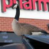 Canada Goose Dumpster Diving at CVS