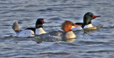 Common Mergansers Fishing in Icy Waters