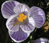 First Crocus on Our Block