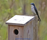 Mr. Swallow At the Nesting Box