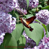Humingbird Moth in the Lilac