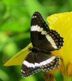 Yellow Iris and Black Admiral