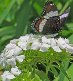 White Admiral on White Sweet William