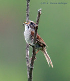 Swamp Sparrow Singing