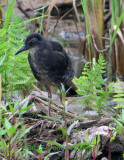 Virginia Rail Immature