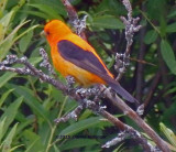 An Aberrant Scarlet Tanager that's Orange