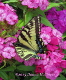 Sweet William with SwallowTail Butterfly
