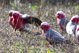Five Galahs Parrots,  one of which has opened his wing