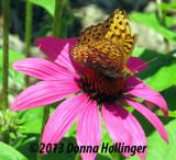 Fritillary on an Echinacea