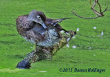 This Female Woodduck Had 7 ducklings with her!
