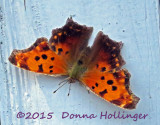 Comma Butterfly Today in Hanover