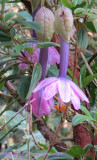 Passiflora tripartita mollissima