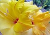 Yellow Gladioli on My Deck