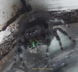 Audax  (jumping Spider  in the Study)