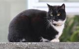 Pedey the Cat