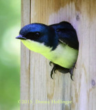 Tree Swallow in a Nesting Box