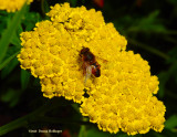 Yarrow with Syrphid Fly