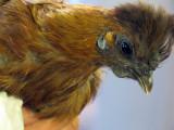 Partridge Silkie