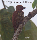 Female Cinnamon Woodpecker (Celeus loricatus)