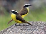 Rusty-margined Flycatchers