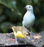 Blue Gray Tanager, Plain Tanager