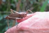 A Katydid (female)