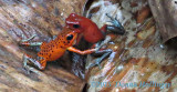Fighting Poison Dart Frogs