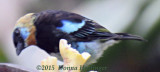 Golden-hooded Tanager