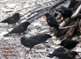 First Years BiColored Blackbirds At Bosque DelApache
