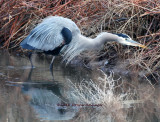 Great Blue Heron spotting prey