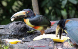 Two Collared Aracaris Eating Bananas