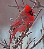 Male Cardinal at Cathy's House
