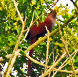 Squirrel Cuckoo With Berry