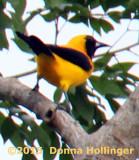 Yellow Backed Oriole (Icterus chrysater)