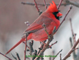 Male Cardinal in the Evening Light