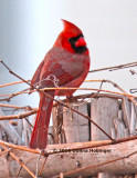 Male Cardinal at Cathy's