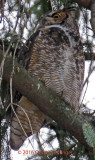 Female Great Horned Owl Went Hunting at 5:15