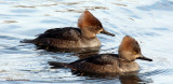 Two hooded mergansers, immatures