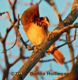 Female Cardinal in the Setting Sun