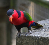 Lorius Lory (or Tri Colored or Balck-Capped Lorikeet)