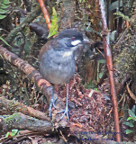 Joco Toco Antpitta Eating Worms