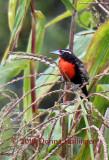 Peruvian Meadowlark
