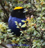 Golden - Crowned Tanager Gorging on Fig Fruits